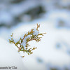 Bit of Green<br /> A sprig of green protrudes from a snow covered bush.