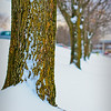 Tree Lined Path<br /> Snow gathered against the trunks of the trees marking the path.