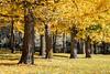 Ginko Grove at Virginia Arboretum