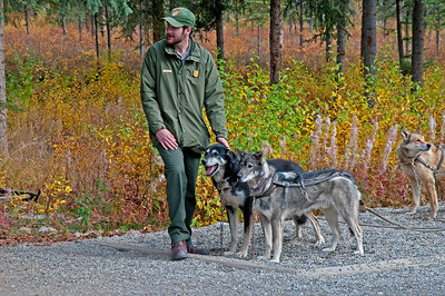 Sled dogs used in Denali National Park, Alaska