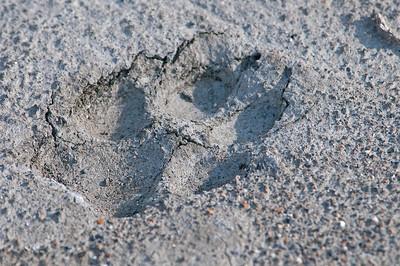 Wolf track Denali National Park, Alaska