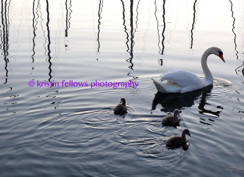 3 ugly ducklings & a swan