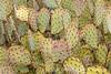 Engelmann's prickly pear