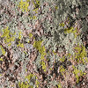 Rock Lichen, Kitt Peak National Observatory, Arizona