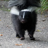 Your image would be out-of-focus too if you suddenly saw a pair of skunks running at you!!!