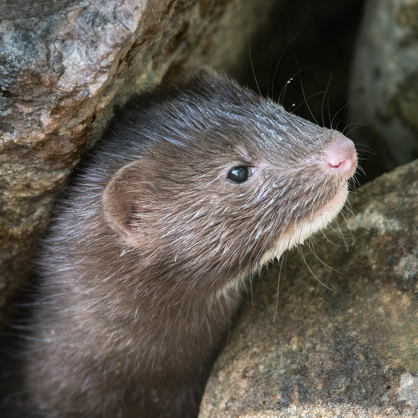 "A mink family played ""hide and seek"" in the rocks."