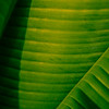 Banana Leaf Rows