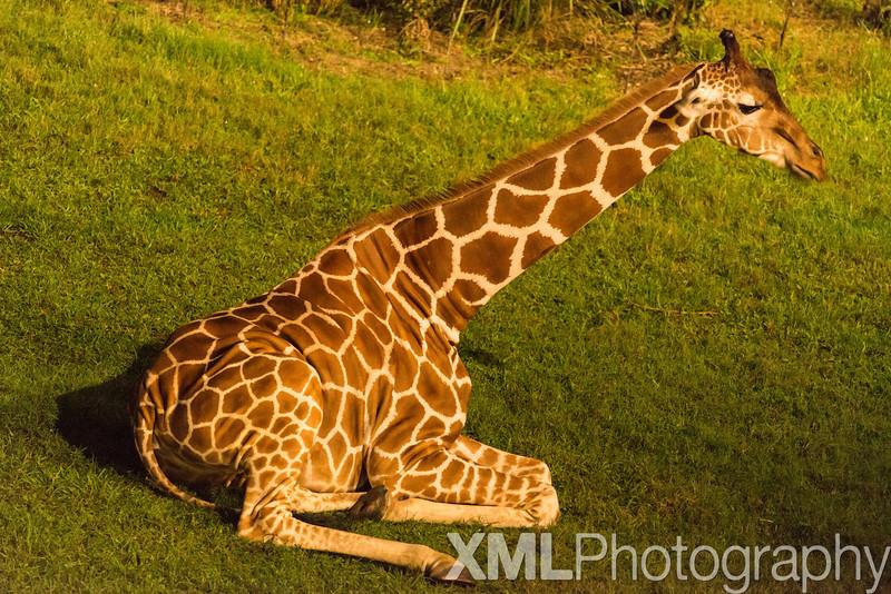 Disney's Animal Kingdom Lodge Arusha View - Animals sleeping outside our room