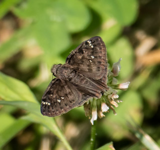 Northern Cloudywing?