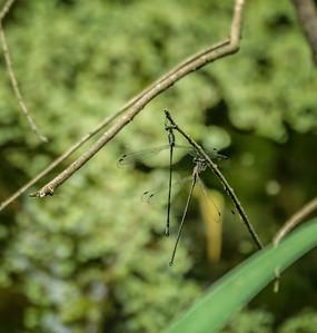 Elegant Spreadwings