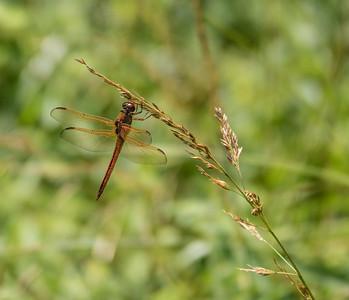 Golden-winged Skimmer (male)