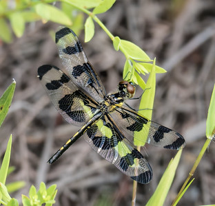 Banded Pennant (female)