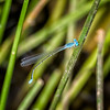 Attenuated Bluet