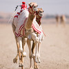 January 15th - Robotic riders urge the camels on since the banning of underage jockeys in Dubai.