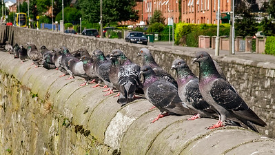 The pigeons of Whitworth Road