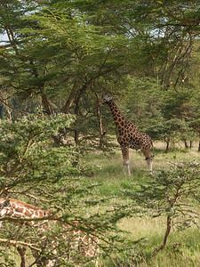 Forest Giraffe