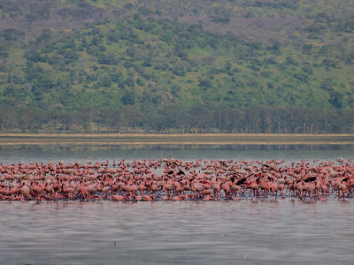 Lake Nakuru Flamingos