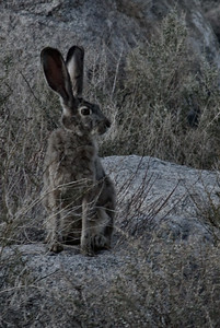 Rabbit resident of Alabama Hills