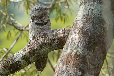 Nictibio grande  o Great Potoo