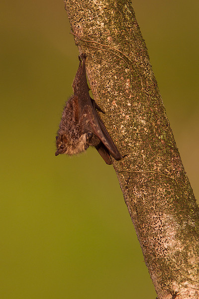 Murciélago narigudo