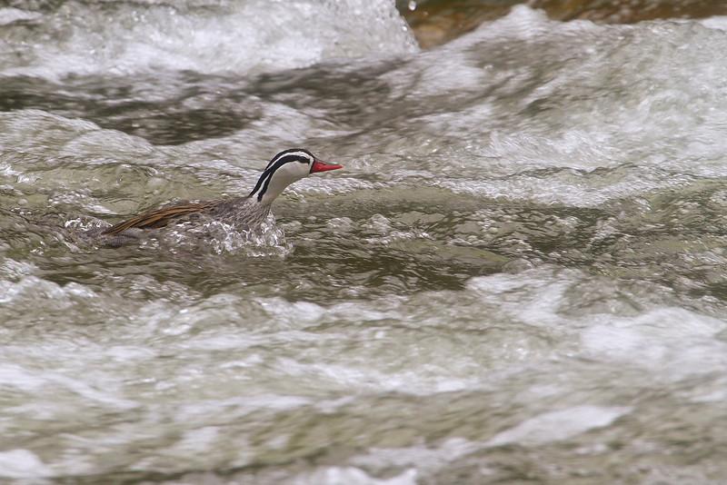Pato de Torrente (Torrent Duck) Merganetta armata. Macho (Male)