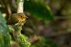 Ochre-breasted Antpitta (Grallaricula flavirostris) Gralarita ocrácea