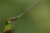 Pico de espada. (Ensifera ensifera) Sword-billed Hummingbird.