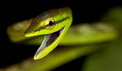 Green vine snake (Oxybelis brevirostris)
