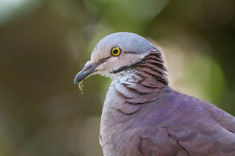 White-throated Quail Dove (Geotrygon frenata) Paloma perdiz goliblanca