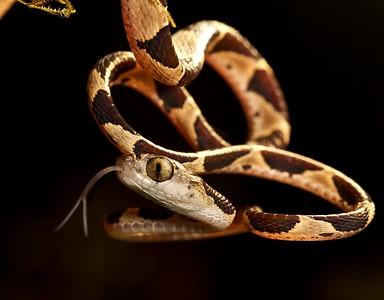 Blunt-headed tree snake (Imantodes cenchoa)