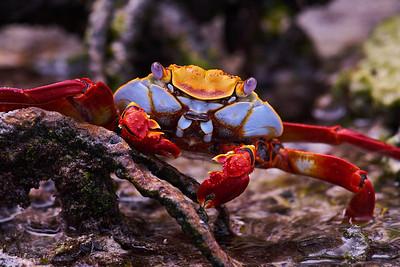 Sally-lightfooted crab (Grapsus grapsus)