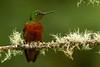Chestnut-breasted Coronet (Boissonneaua matthewsii) Coronita pechicastaña