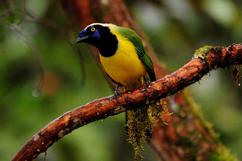 Inca Jay- Urraca Inca (Cyanocorax yncas)