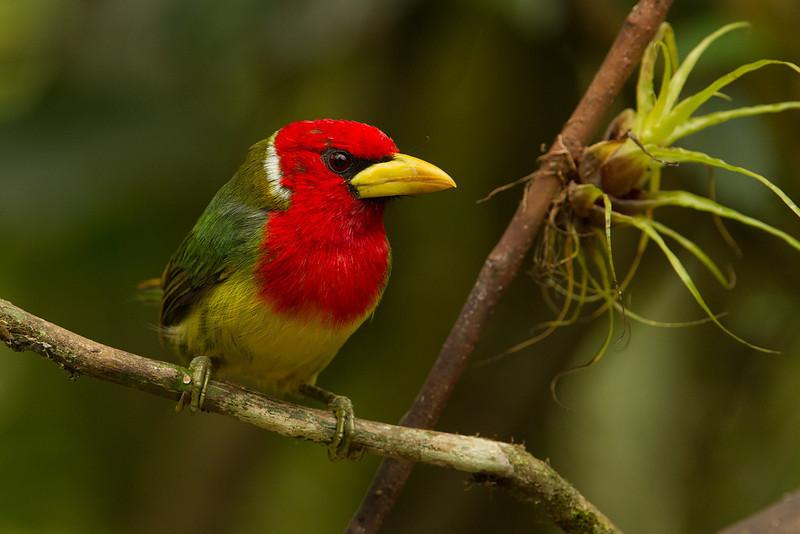 Red-headed Barbet. (Eubucco bourcierii) Male. Barbudo cabecirrojo. Macho.