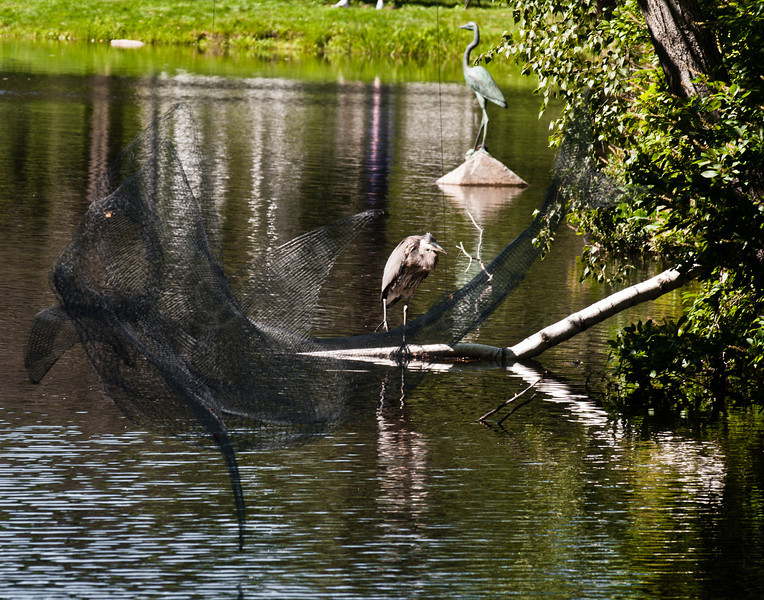 Shark with Herons
