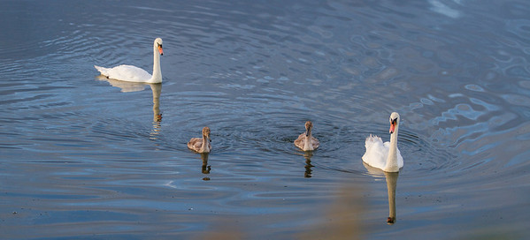 Swan family on Water Colour pond.