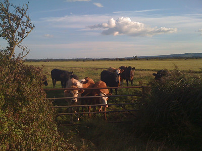On our way to Hailsham, these cows followed us for quite a ways