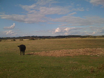 Wealden cow