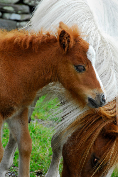 Miniature horses - Mare and Colt - Castle Bolton, England