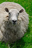 Round white sheep in green pasture - Red Bank, England