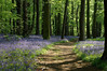 Path through Middleton Woods covered with blue bells - Wishaw, England