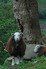 Brown and white sheep - one standing and one sleeping with head on rock - Chapel Stiles, England