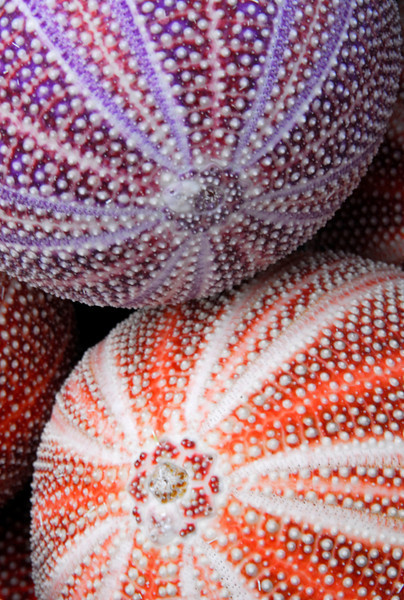 Colorful Sea Urchin shells - Portloe, England