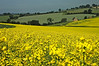 Canola field in the Cotswolds - Charington, England