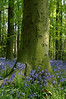 Blue bells in the crook of a tree - Middleton Woods, Wishaw, England