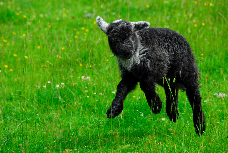 Little black lamb jumping and frolicking near Millbeck Farm, England