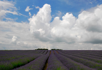 Rows of lavender against a cloud filled sky - Snowshill, England