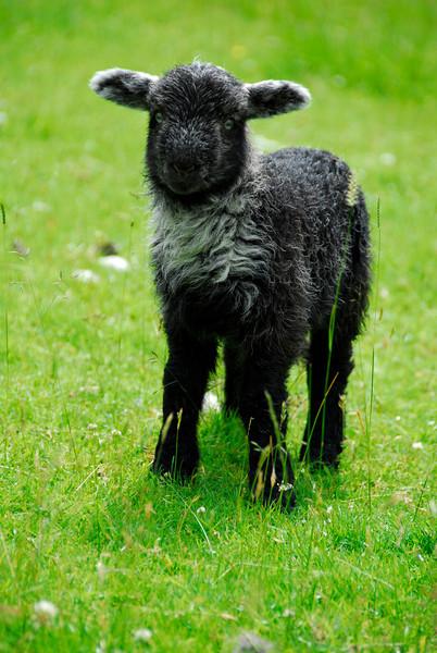Little black lamb near Millbeck Farm, England