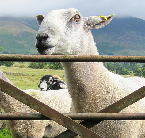 Just a stop by the road in the Lake District  to look at some sheep