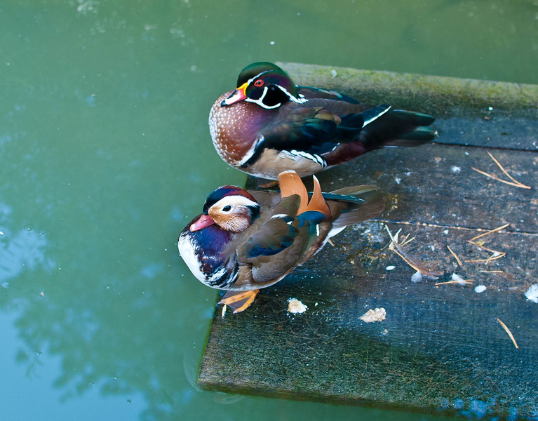 Ducks at Etno Selo
